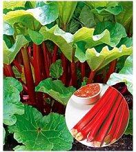 Immertragender Rhabarber Livingstone,1 Pflanze