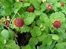 Indische Scheinerdbeere Seeds (Duchesnea Indica)