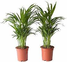 Indoor-Helden Dypsis lutescens - Areca-Palme,