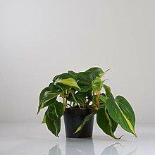 Indoor-Helden Philodendron scandens Brasil