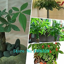 Indoor Immergrüne Pflanze Pachira Macrocarpa Samen 1pcs Geld-Baum-Samen, Bonsai Samen Malabar Kastanie Samen Cayennenut Freie Shipp