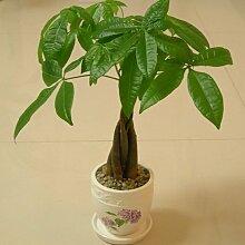 Indoor Immergrüne Pflanze Pachira Macrocarpa Samen 1pcs Geld-Baum-Samen, Bonsai Samen Malabar Kastanie Cayennenu
