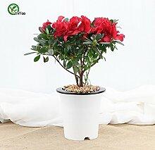 Indoor Topf Samen Azalee Blumen Samen Sehr Schöne