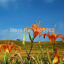 Ingwer Gemüsesamen Zingiber Officinale Samen Pflanze Balkon Gemüse Topf 100 Partikel / lo