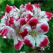 Inovey 100 PCs Garten Geranie Samen seltene Blumen