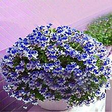 Inovey 100 PCs Geranie Samen Garten Blumen Kerne