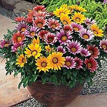 Inovey 1000 Stücke Bunte Chrysantheme Samen