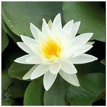 Inter Flower -1 See Rose weiß Nymphae yellow in cup, Wasserbecher