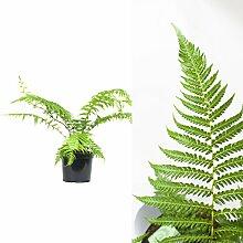 Inter Flower - 1x seltener Baumfarn - Dicksonia antarctica - ca. 90cm +/- mehrfach gefiedert, palmenähnliche Stammbildung, tropisch/subtropisch, Zierpflanze, Schopfbäume, Zimmerpflanze, Gartenpflanze, Immergrün, pflegeleicht, Cyatheales