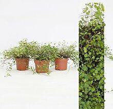 Inter Flower - 3 Pflanze Mühlenbeckia (Muehlenbeckia axillaris) trittfest + winterfest + Teppich + rank