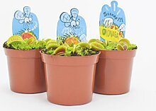 Inter Flower - 3x Venusfliegenfalle (Dionaea muscipula) fleischfressende Pflanze (Sonnentaugewächse - Droseraceae) / spektakuläre Zimmerpflanze, beliebte Zierpflanze, Kanivoren, exotische Insektenfängerin, Indoor, Pflegeleicht und sehr beeindruckend, Insektenfressende Raritä