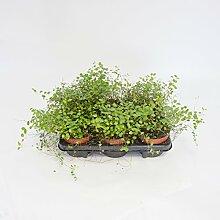 Inter Flower - 5 Pflanze Mühlenbeckia (Muehlenbeckia axillaris) trittfest + winterfest + Teppich + rank