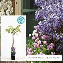 Inter Flower -Garten Blauregen ,Japanischer Blauregen1 Pflanze Wisteria sinensis Blue Moon ,blau, Kletterpflanze, Winterhart, Gartenpflanze