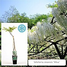 Inter Flower -Garten Blauregen ,Japanischer Blauregen1 Pflanze Wisteria sinensis Alba ,weiß, Kletterpflanze, Winterhart, Gartenpflanze