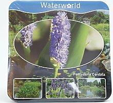 Inter Flower- Jetzt einsetzen ! Komplettes Wasserpflanzenpaket ,Teichpflanzen Pontederia Cordata