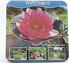 Inter Flower - Jetzt einsetzen ! Komplettes Wasserpflanzenpaket ,Seerosse rot ,Teichpflanzen