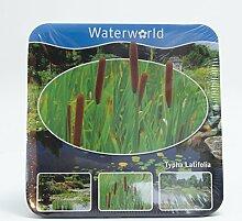 Inter Flower- Jetzt einsetzen ! Komplettes Wasserpflanzenpaket ,Teichpflanzen Typha Latifolia