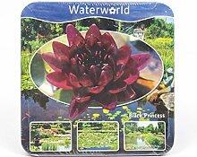 Inter Flower -Jetzt einsetzen ! Komplettes Wasserpflanzenpaket ,Seerosse weinrot ,Teichpflanzen