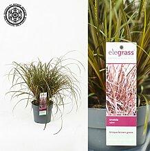 Inter Flower -Mahagonigras Uncinia rubra Everflame - Prächtiges Gras für den Garten - ideal als Ufer Pflanze für den Gartenteich, Steingarten geeigne