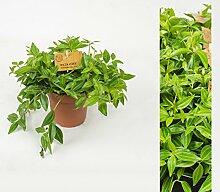 Inter Flower -Peperomia angulata / Rocca Verde