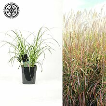 Inter Flower-RIESEN CHINASCHILF - Miscanthus sinensis `Flamingo - winterhart - Prächtiges Gras für den Garten - ideal als Ufer Pflanze für den Gartenteich, als Sichtschutz oder als Begrenzung geeigne