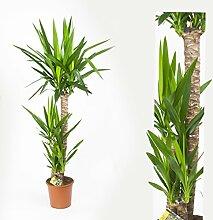 Inter Flowers -3 Köpfe: XL Yucca Palme Elephantipes 130 cm+/- hoch, Büropflanze, Zimmerpflanze