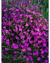 iovivo Staude Heidenelke Dianthus deltoides, 5er-Se
