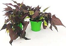 IPOMEA BROWN 2 Pflanzen, echte Pflanzen