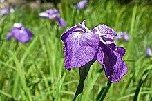 Iris Iris Zwiebeln Hohe Keimrate Pflanze im Garten