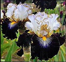 Iris Staude,Hochwertige Zwiebeln sind einfach zu