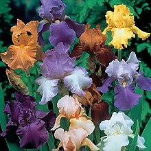 Iris Staude,Regenbogengöttin,Teichpflanzen