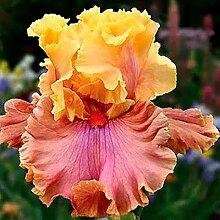 Iris Staude,Schwertlilie Pflanze,Schwertlilie