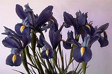 Iris Zwiebel,Blumen Im