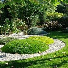 Irish Moss Bodendecker Samen (Sagina Subulata) 200
