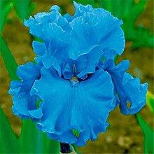Iriszwiebeln, Eleganter Irisduft,
