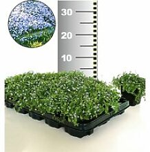 Isotoma 'Blue Foot®' 25 Stk., trittfester