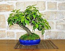 Ivy bonsai tree (2)