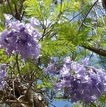 Jacaranda mimosofolia - Palisanderbaum - 10 Samen-