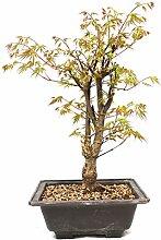 Jap. Fächerahorn, Korkahorn, Ahorn palmatum