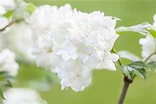 Japananischer Schneeball Viburnum plicatum