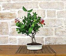 Japanese Honeysuckle bonsai tree (2)