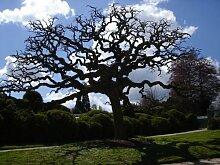 JAPANESE Paternosterbaum 20 Samen - Bonsai -