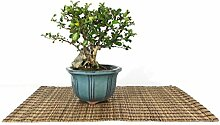 Japanese Quince bonsai tree (2)