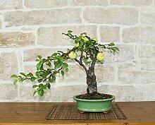 Japanese Quince bonsai tree (9)