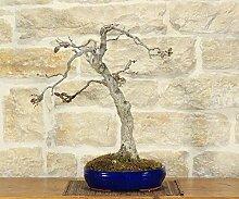 Japanese Wisteria bonsai tree (12)