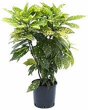 Japanische Akube - immergrüne Kübelpflanze im 10
