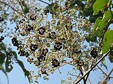 Japanische Aralie Aralia elata Pflanze 5-10cm