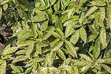 Japanische Aucube Aucuba japonica