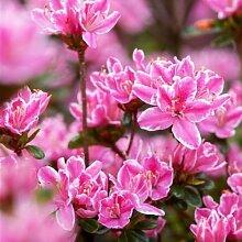 Japanische Azalee 'Kermesina Rose' -R- 2 L