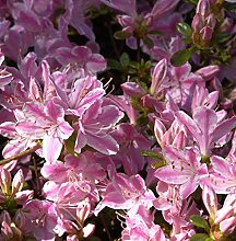 Japanische Azalee Kermesina Rose 25-30cm -